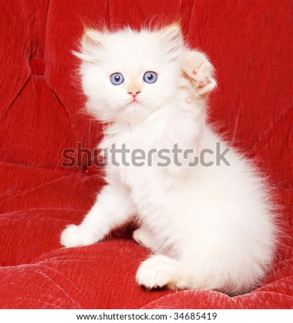 A pretty white kitten waving hello with its paw - stock photo