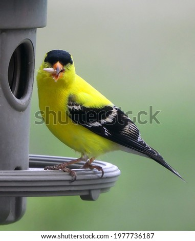 a pretty yellow male american goldfinch in his breeding plumage eating seed at a backyard feeder in broomfield, colorado Foto stock ©