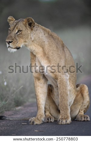 A pride Lioness listens carefully to the far off roars of the returning pride