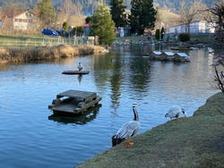 A private pond with ducks and other related aquatic bird species, Einsiedeln - Canton of Schwyz, Switzerland