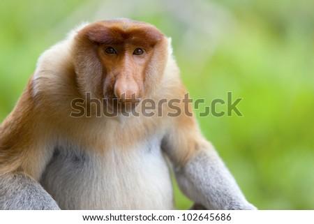 A proboscis monkey sat down and looking to camera, Sandakan, Malaysia. - stock photo