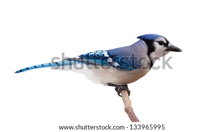 A profile of a bluejay perched on a branch. The bird feathers transition from light to dark blue, from tail to beak, through its slender body. White background.