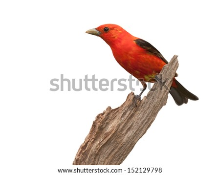 A profile of a scarlet tanager perched on a piece of driftwood. The tanager'??s brilliant red plumage contrasted against its midnight black wings, make this one startling songbird. White background. - stock photo