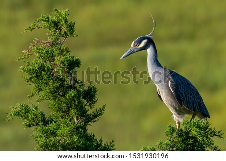 A profile of a Yellow-crowned Night Heron perched on a tree.