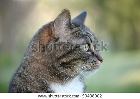 A profile of an adult tabby cat