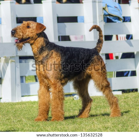A profile view of a black and tan Airedale Terrier dog standing on the grass, looking happy. It is known as the king of terriers and for being very intelligent, independent, and strong-minded