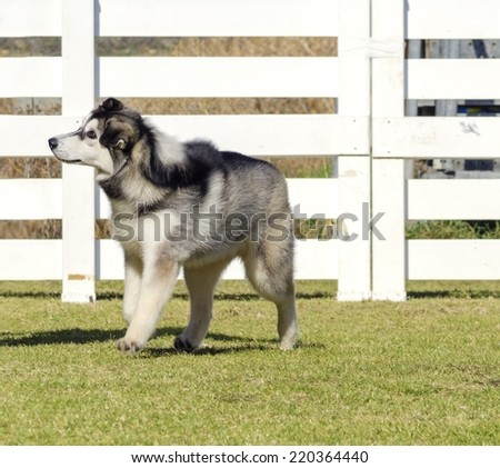 A profile view of a young beautiful black and white Siberian Husky puppy dog walking on the grass, known for their amazing endurance and willingness to work.They look like wolves.