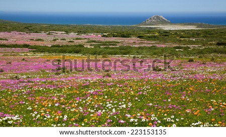 A profusion of wildflowers growing in the West Coast National Park, near Langebaan in the Western Cape, South Africa.