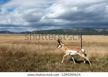 A pronghorn (Antilocapra Americana) looks for a fence crossing.
