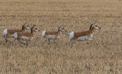 A Pronghorn Herd on the Plains of Colorado