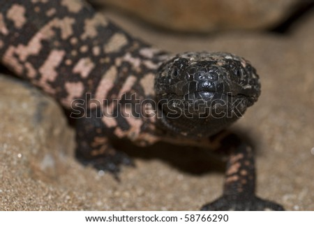A protected gila monster in Arizona.  They are 1 of only 2 venomous lizards in the world. - stock photo