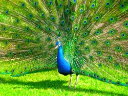 A proud peacock displays his feathers.