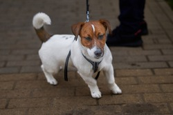 A proud try colour jack russell terrier on a lead.
