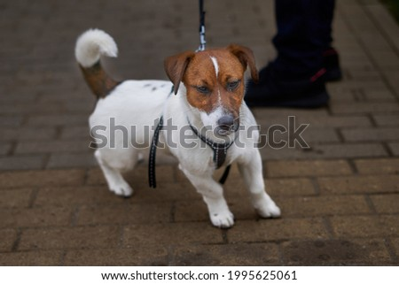 A proud try colour jack russell terrier on a lead. Foto stock ©