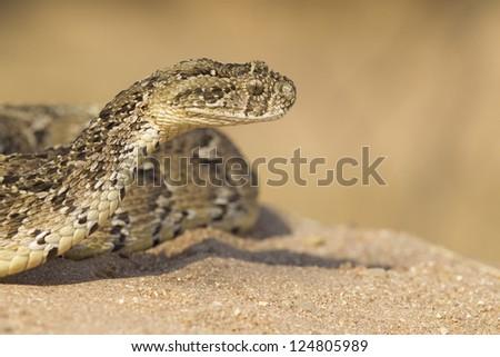 A Puff Adder, (Bitis arietans), raises its head, South Africa