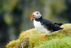 A puffin holding fish in his mouth, on a cliff, in southeastern Iceland