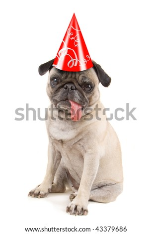 a pug dog isolated on a white background