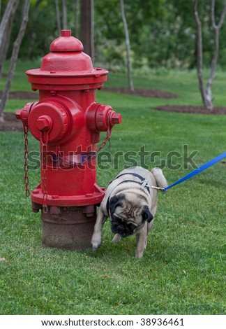 A pug dog urinated on a fire hydrant in a park