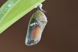 A pupa hanging under the leaf.At Taichung city, Taiwan.In November 2020.