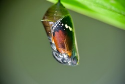 A pupa hanging under the leaf. At Taichung city, Taiwan.In November 2020.