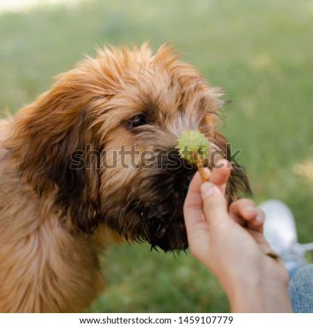 A puppy briard on the middow in the summer #1459107779