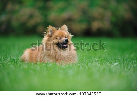 A puppy of a Pomeranian spitz running with a wide smile