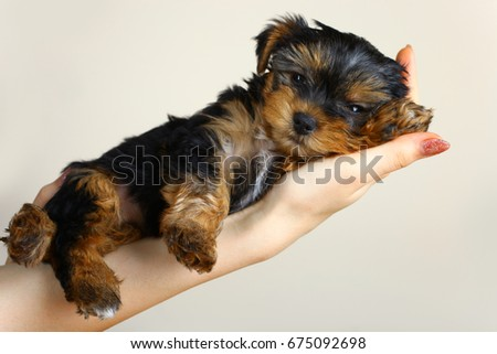 A puppy of a Yorkshire terrier lie on a woman's hand. #675092698