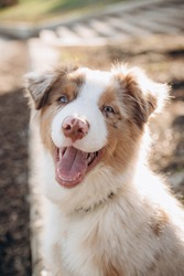 a puppy of the Australian Shepherd breed with blue eyes. aussie