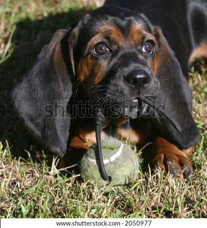 A puppy plays with a ball.