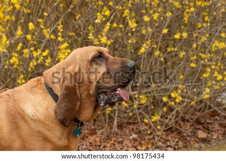 A pure bred Blood Hound dog sitting in front of a blooming forsythia bush looking to the right.