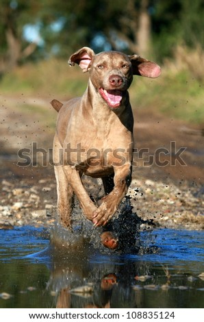 A pure bred male weimaraner pet jumps through the water while running in the bush in eastern cape, South Africa