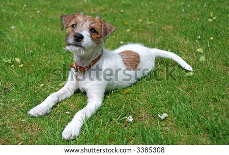 Parson Jack Russell Terrier Purebred
