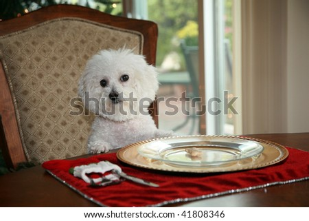 http://image.shutterstock.com/display_pic_with_logo/426/426,1259457502,4/stock-photo-a-pure-breed-bichon-frise-sits-at-the-dinning-room-table-and-demands-her-christmas-dinner-41808346.jpg
