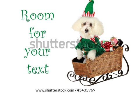 "a ""pure breed"" ""bichon frise"" wears his Elf costume in his ""santa sleigh"" ""isolated on white"" with ""room for  text"""
