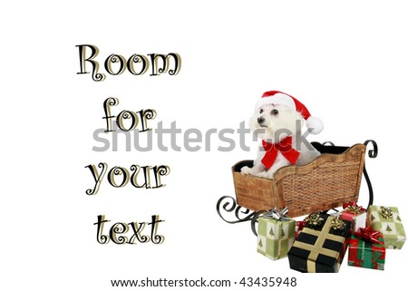 """a pure breed """"Bichon Frise"""" with a red bow, in a """"santa Sled"""" """"isolated on white"""" with """"room for your text"""""""