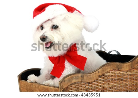 "a pure breed ""Bichon Frise"" with a red bow, in a ""santa Sled"" ""isolated on white"" with ""room for your text"" - stock photo"