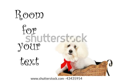 "a pure breed ""Bichon Frise"" with a red bow, in a ""santa Sled"" ""isolated on white"" with ""room for your text"""