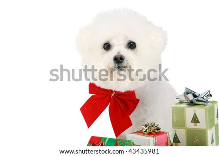 "a pure breed ""Bichon Frise"" with a red bow,  with wrapped gifts ""isolated on white"" with ""room for your text"""