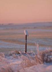 A pure white snowy owl sits patiently and relaxed on a fence post in the open Canadian prairie grasslands in winter as the sun rises.