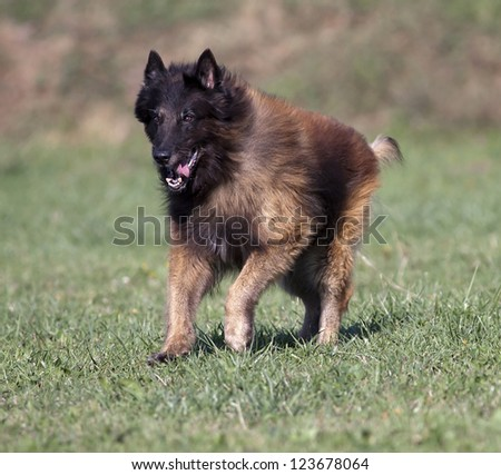 A purebred Belgian Shepherd tervueren running in the field
