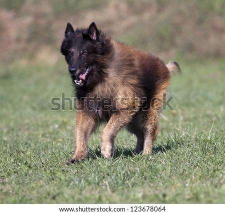 A purebred Belgian Shepherd tervueren running in the field