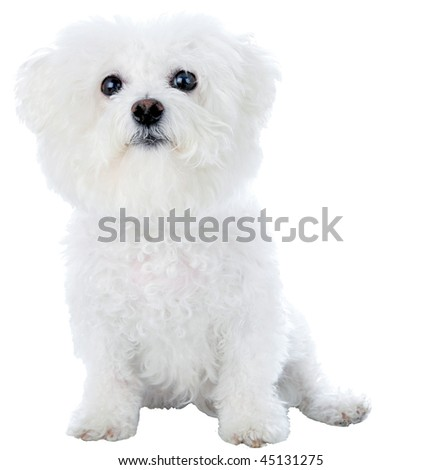 a purebred bichon frise isolated on white