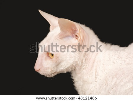 A purebred Cornish Rex cat has very short hair revealing a translucent pink skin.