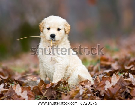 A purebred golden retriever puppy proudly poses for the whole world to see, after retrieving a piece of straw in the autumn