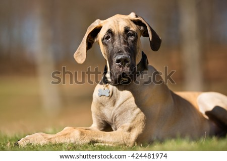 A purebred Great Dane dog without leash outdoors in the nature on a sunny day. Foto d'archivio ©