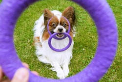 a purebred Happy Dog Papillon play with toy ring on head and in teth the on backyard.