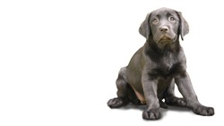 A purebred labrador puppy with a soft and sweet pedigree on a white background, looks at the camera and makes a nice face.
