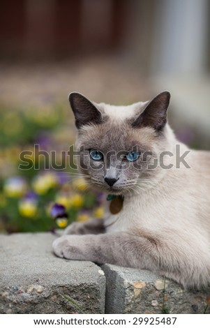 A purebred, Lilac point Siamese laying in the garden.