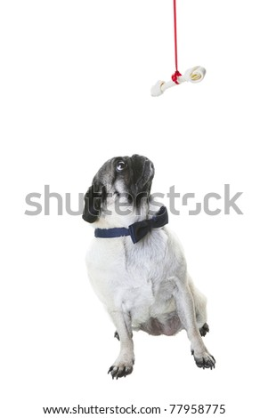 A purebred pug dressed in a navy blue bow tie, looking up at her Christmas bone hanging from a red ribbon.  Shot on white background.