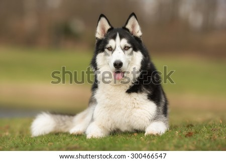 A purebred Siberian Husky dog without leash outdoors in the nature on a sunny day. #300466547
